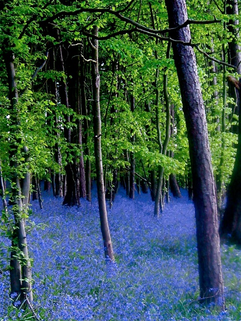 bluebell-woods-2img_2080