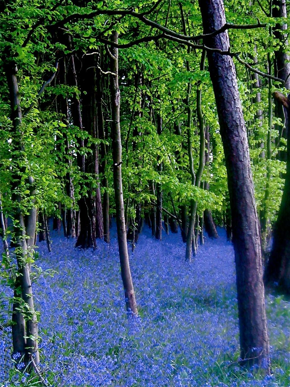 bluebell-woods-2img_2080