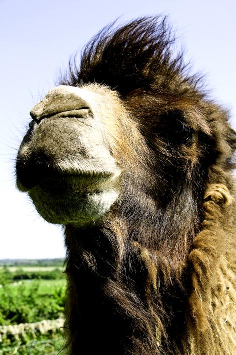 Camels 1 1061-Edit