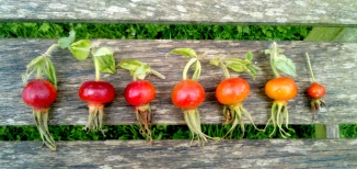 Rose hips in a row