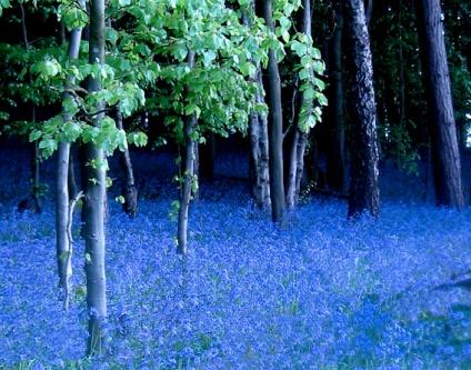 Bluebells 1 IMG_2084