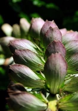 DSC_0692 Acanthus flowers