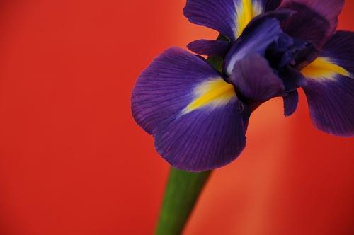 iris on red background