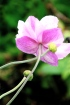 pink flower 0674