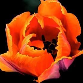 tulip black background DSC_0943_2.sf